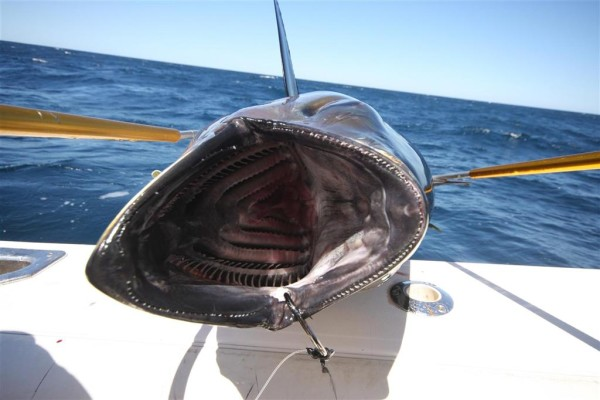 Post image for Phenomenal So Cal Tuna Fishing Continues
